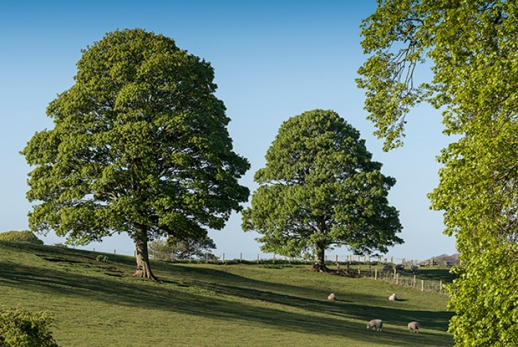 picture_of_oak_trees
