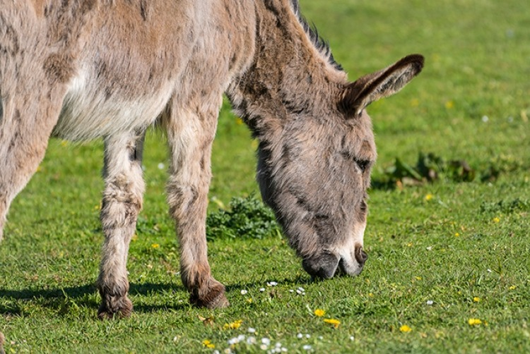 picture_of_donkey_at_st_helens_in_the_PARK
